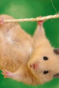 Vorschau Hamster hängen Handy-Logo