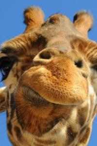 Vorschau Giraffen Abschluss oben Handy Logo