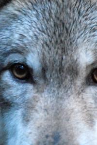 Vorschau Wolf Augen Handy-Logo