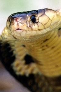 Vorschau Kobra Schlange Handy Logo