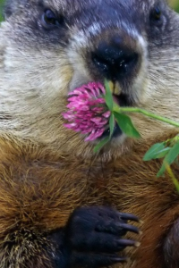 Vorschau Murmeltier mit Blume Handy Logo