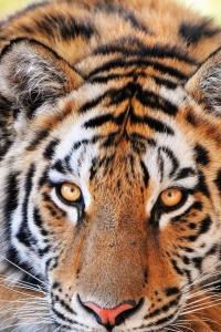 Vorschau Tiger Handy Logo