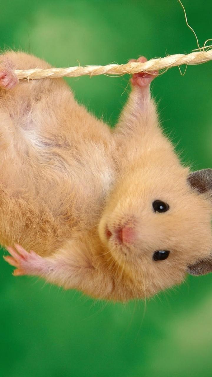 Hamster hängen Handy Logo, Kostenlos Hintergrundbild auf