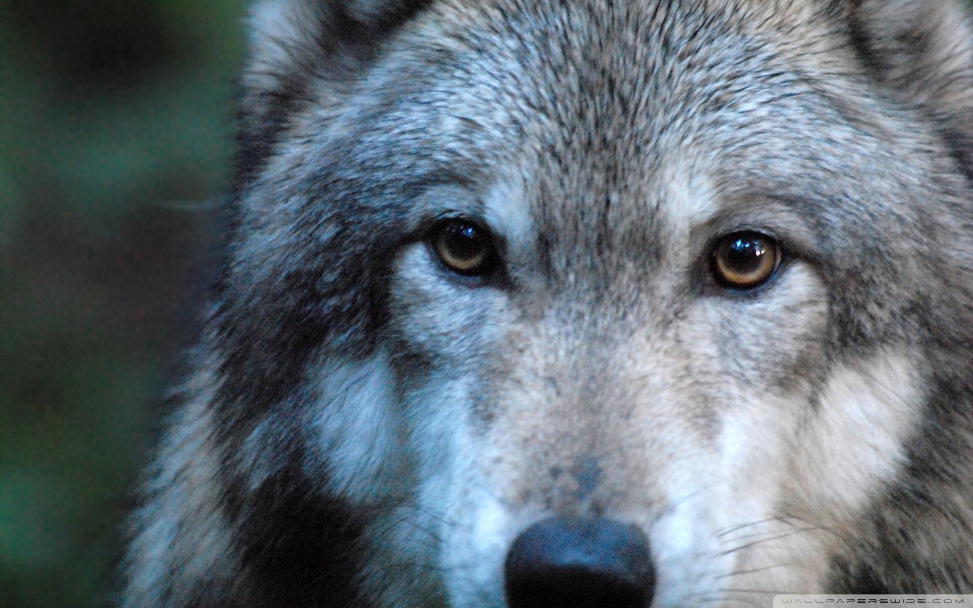 Wolf Augen Handy Logo Kostenlos Hintergrundbild Auf Dein Handy